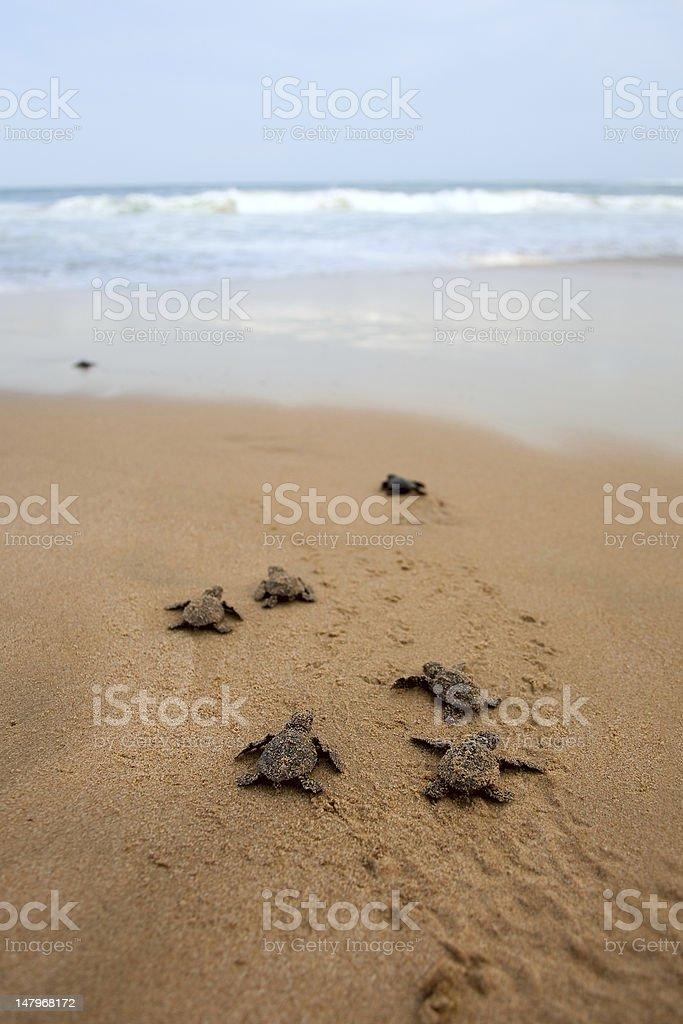 Loggerhead sea turtle emergence stock photo