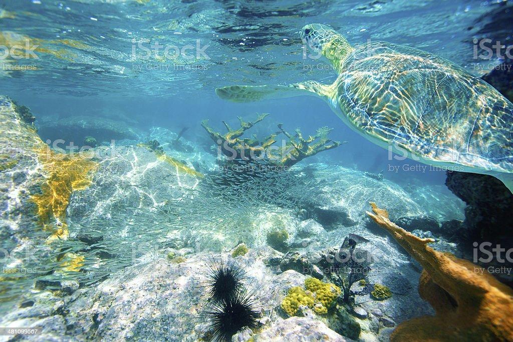 loggerhead sea turtle swimming above the coral reef, St.John, USVI stock photo