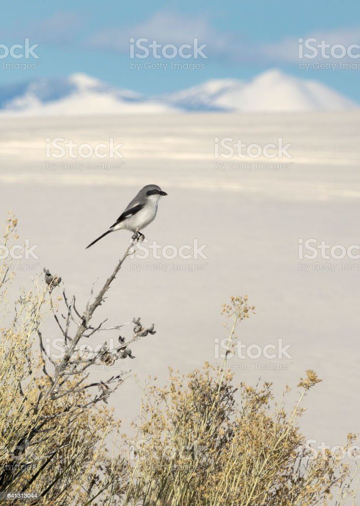 Loggerhead shrike hunts insects White Sands National Monument New Mexico stock photo