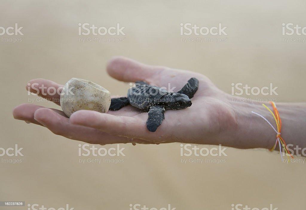Loggerhead Turtle baby(Caretta carretta) and egg on hand stock photo