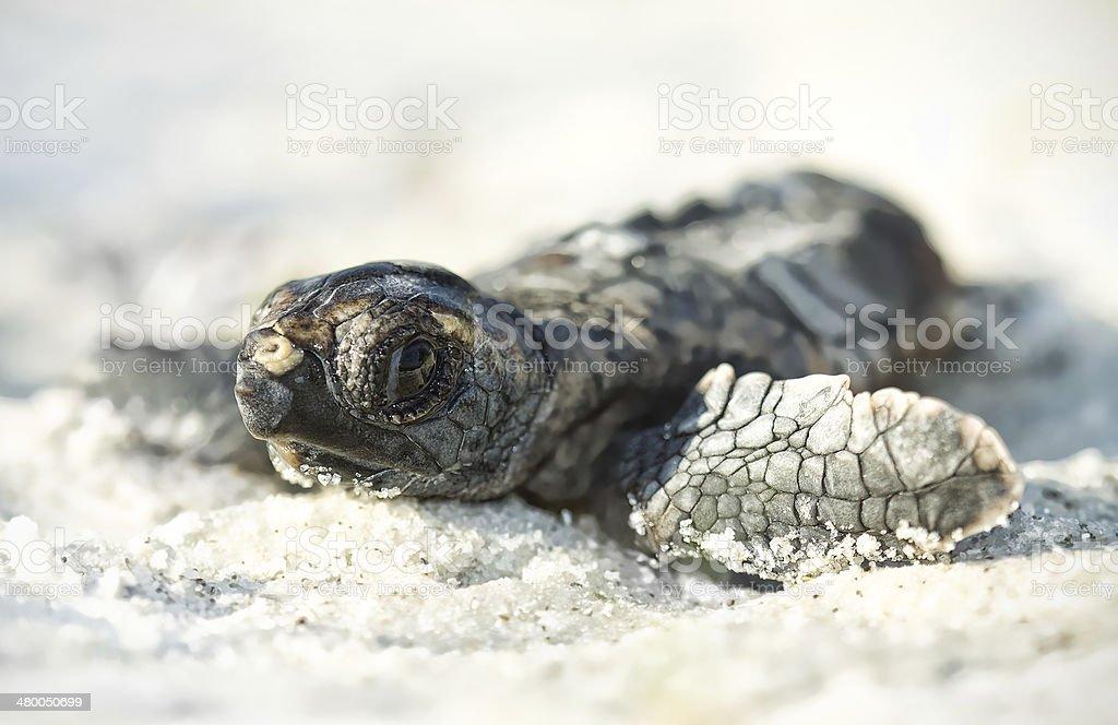 Loggerhead Turtle hatchling stock photo