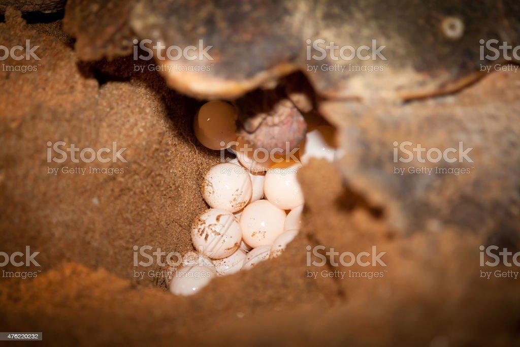 Loggerhead Turtle Laying Eggs in Sand Nest stock photo