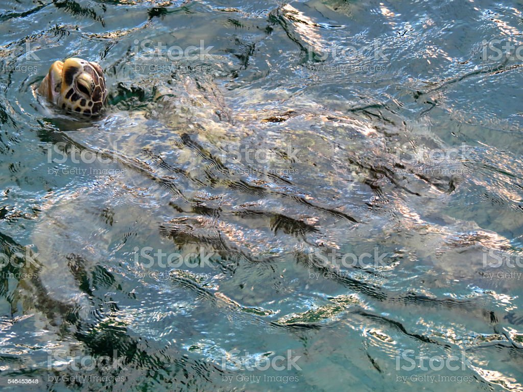 Loggerhead Turtle Surfacing, Sea Turtle stock photo