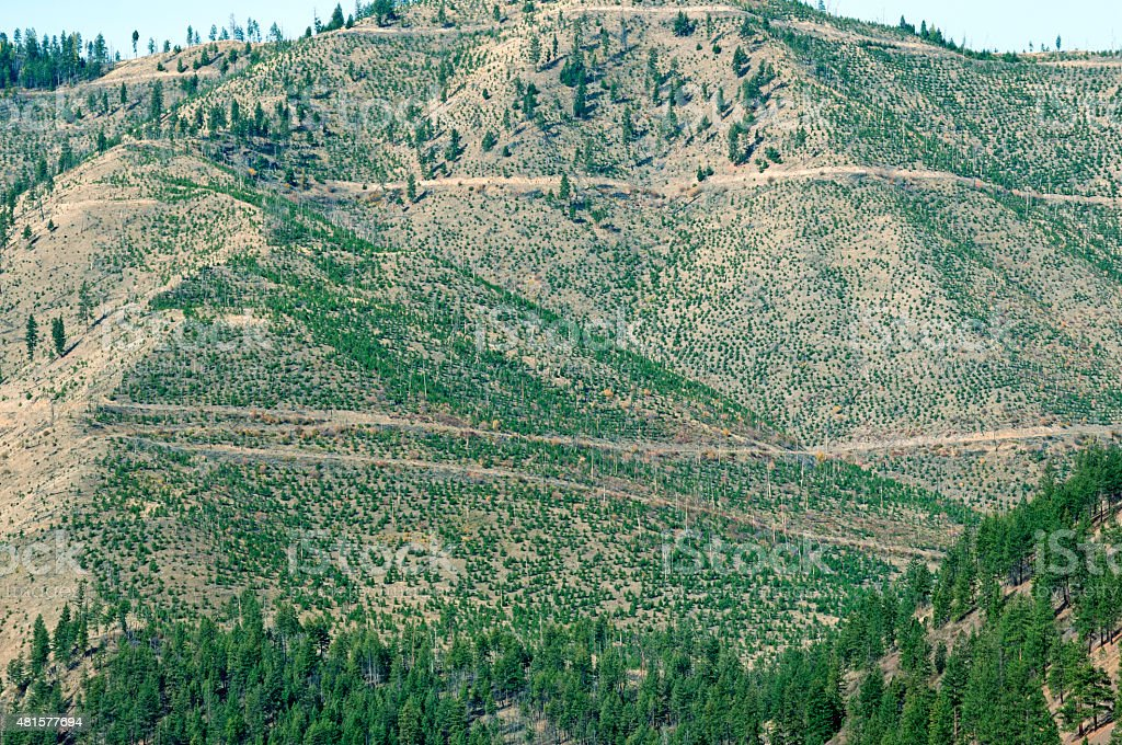 Logging road and replanted Douglas fir trees in western Montana stock photo