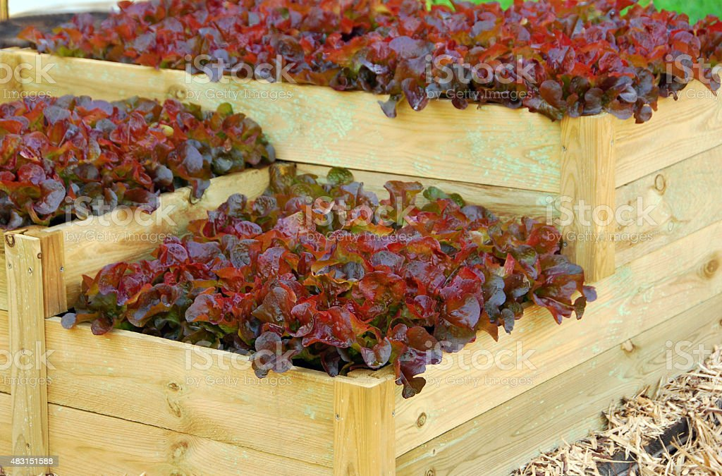 Lollo Rosso Lettuce growing in a vegetable garden stock photo