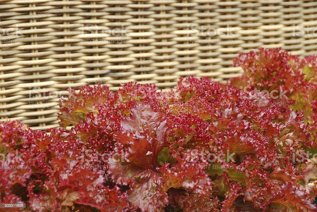 Lollo Rosso Lettuce royalty-free stock photo