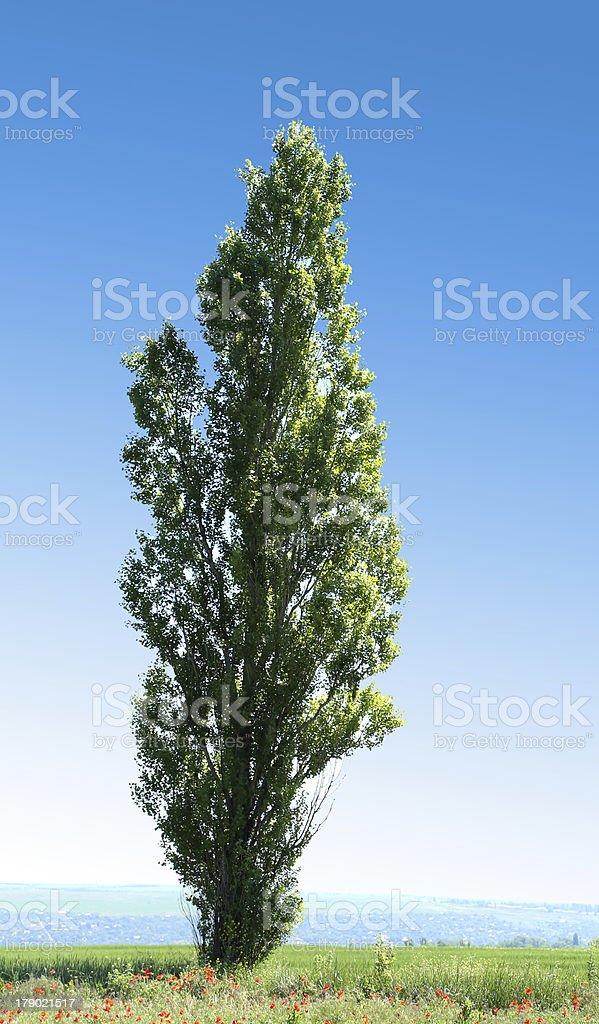 Lombardi Poplar royalty-free stock photo