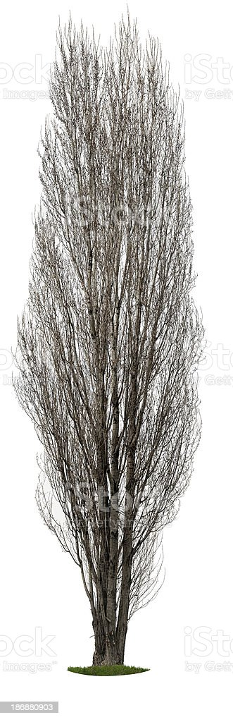 Lombardy poplar (Populus nigra 'Italica') isolated on white in_spring. royalty-free stock photo