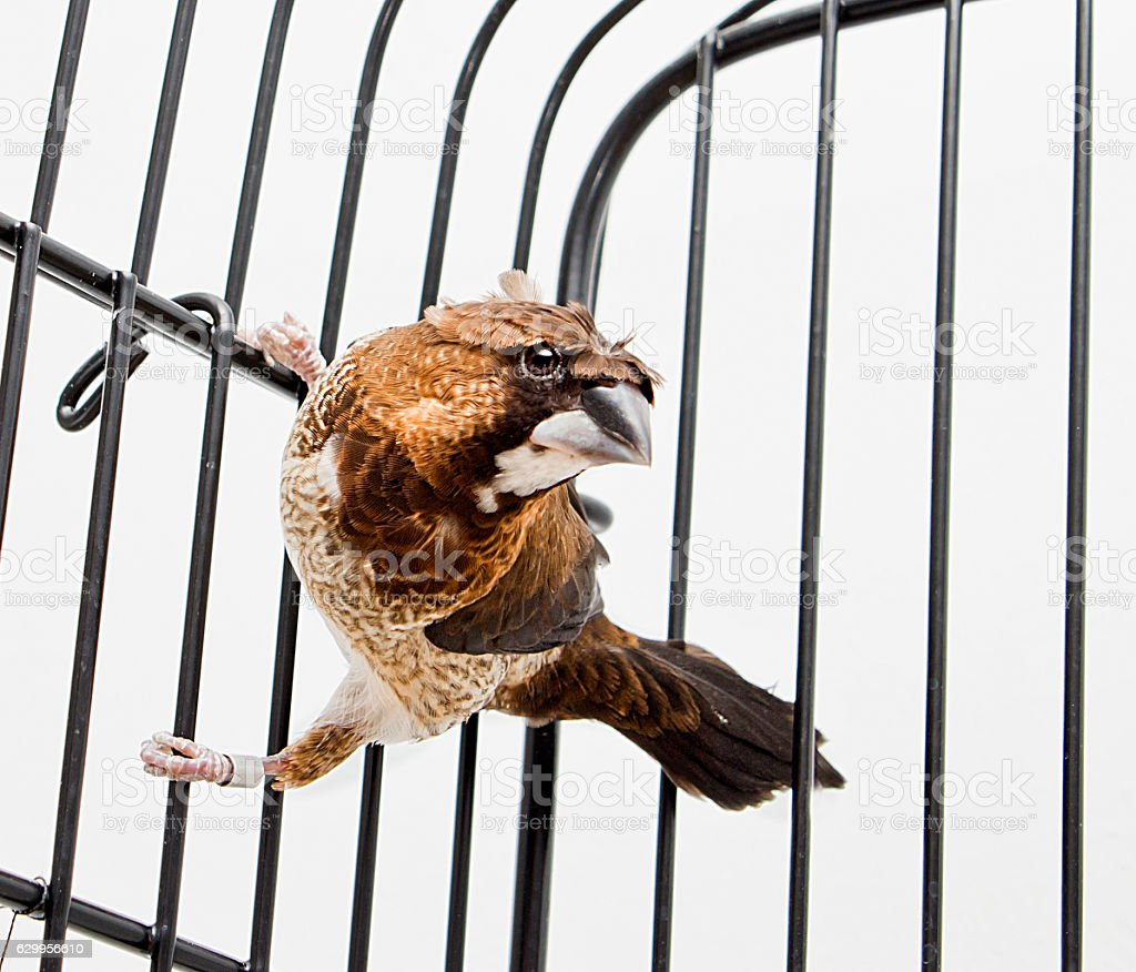 Lonchura Striata Domestica, Birds