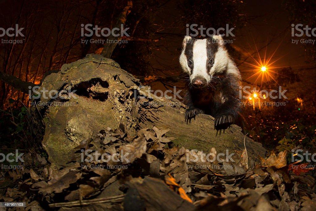 London Badger-Urban Wildlife stock photo