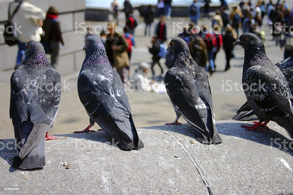 London Pigeons royalty-free stock photo