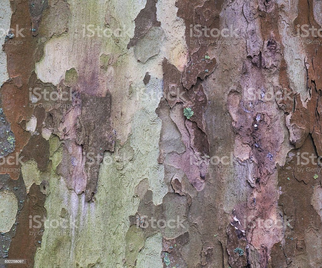 London Plane Bark stock photo