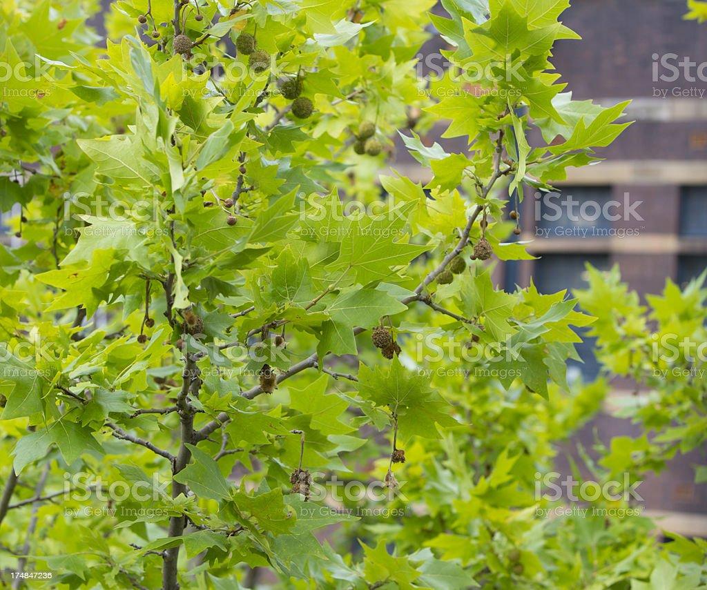 London Plane Tree Leaves royalty-free stock photo