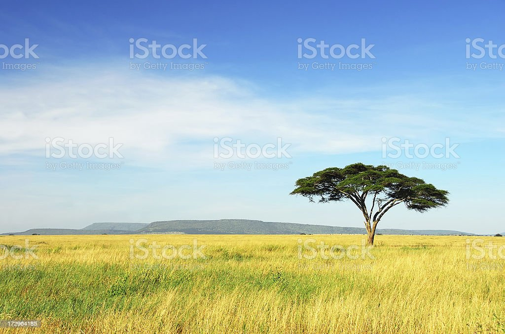 Lone Acacia Tree, Serengeti National Park, Tanzania stock photo