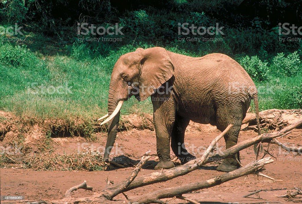Lone African elephant Uaso Nyero river Samburu 1986 stock photo