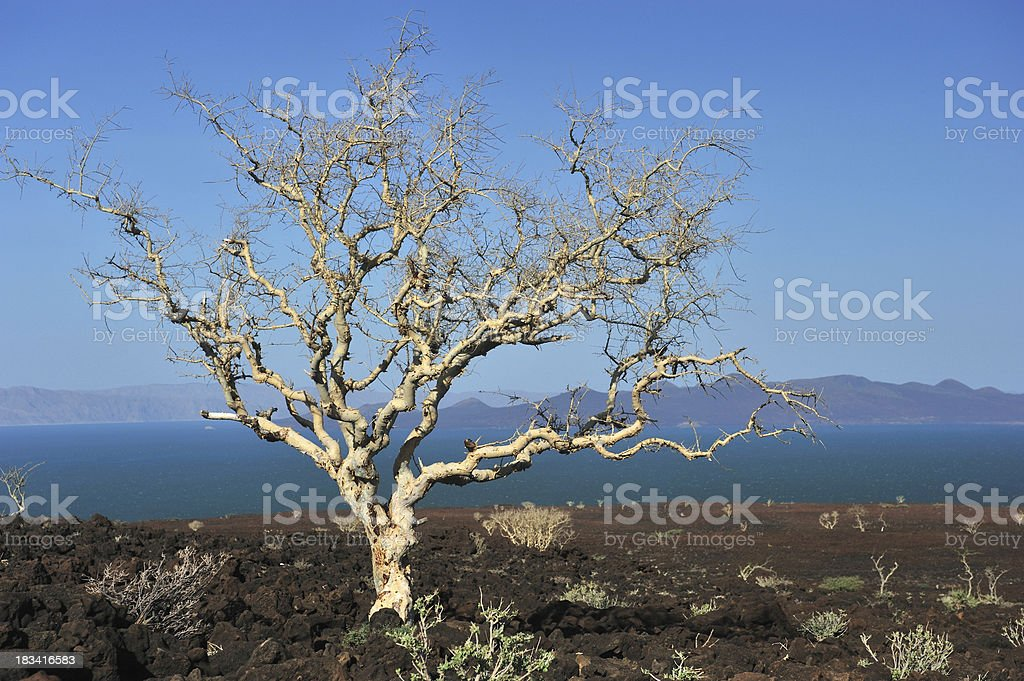 Lone African tree stock photo