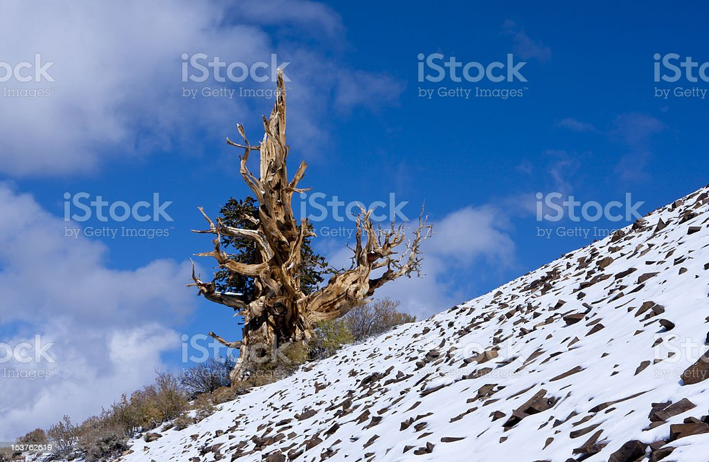 Lone Ancient Bristlecone Pine royalty-free stock photo