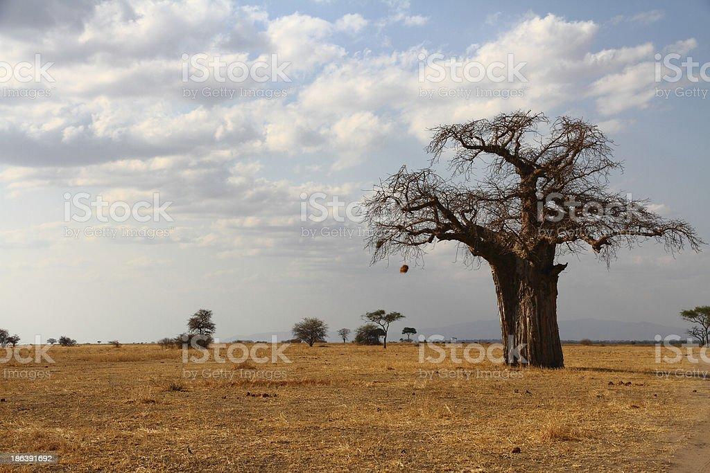 Lone Baobab on the African Savannah stock photo