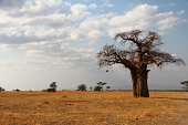 Lone Baobab on the African Savannah