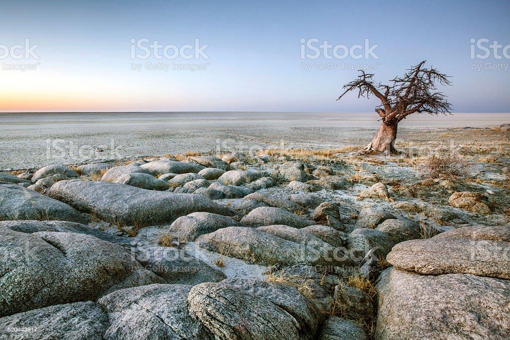 Lone Baobab tree stock photo