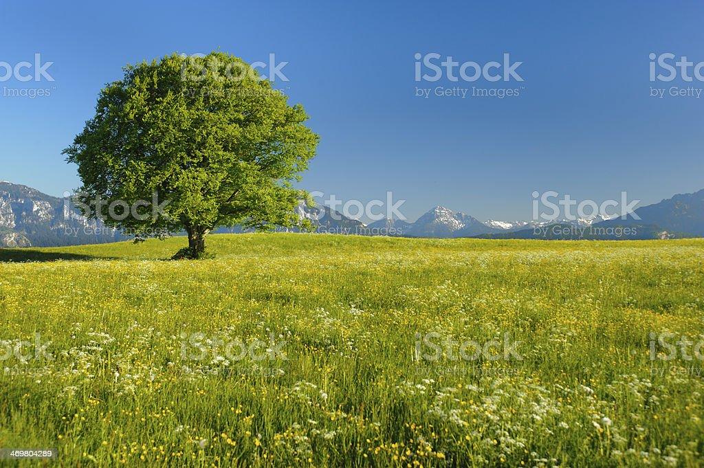 A lone beech tree in yellow fields stock photo
