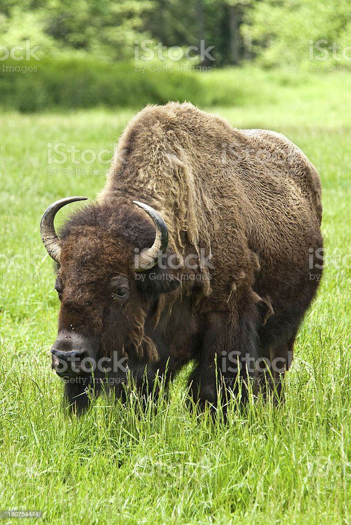 Lone Bison Bull royalty-free stock photo
