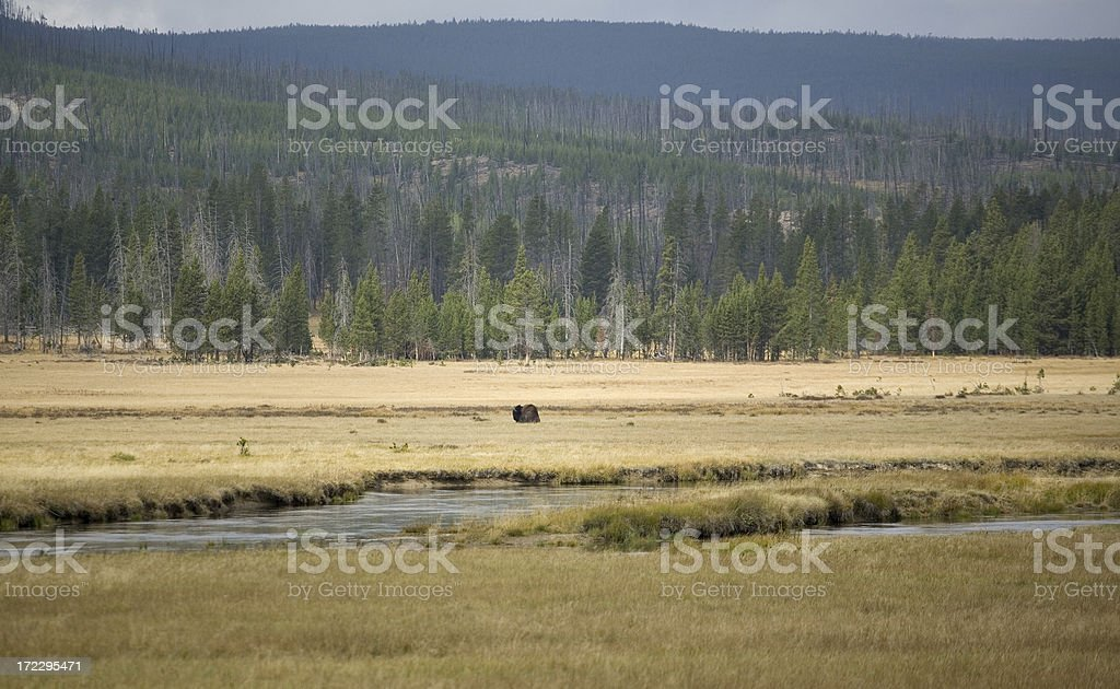 Lone bison on the prairie royalty-free stock photo