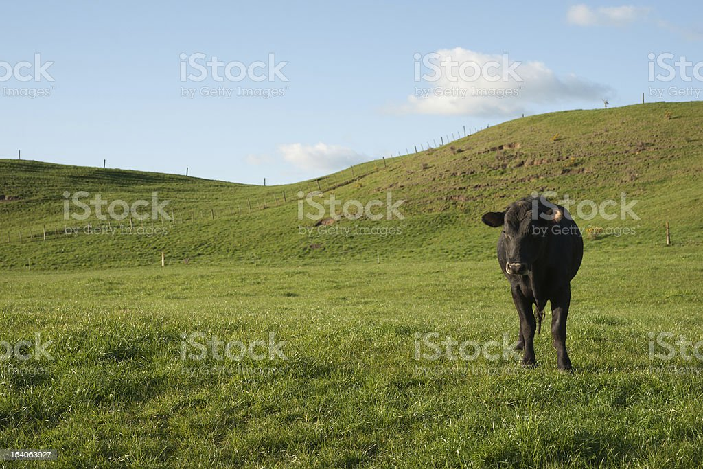 Lone black cow in paddock. stock photo