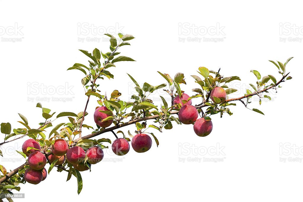 A lone branch of an apple tree with leaves and fruit stock photo