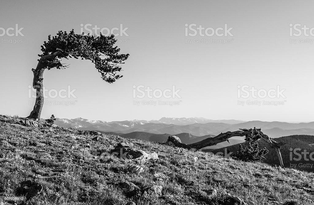 Lone Bristlecone Pine Tree in Black and White stock photo