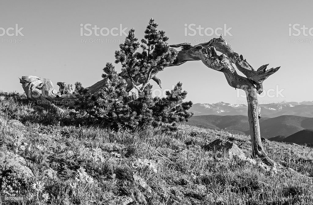Lone Bristlecone Pine Tree in Black and White stock photo