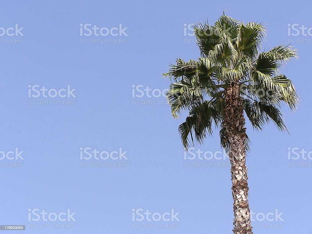 Lone California Palm Tree royalty-free stock photo