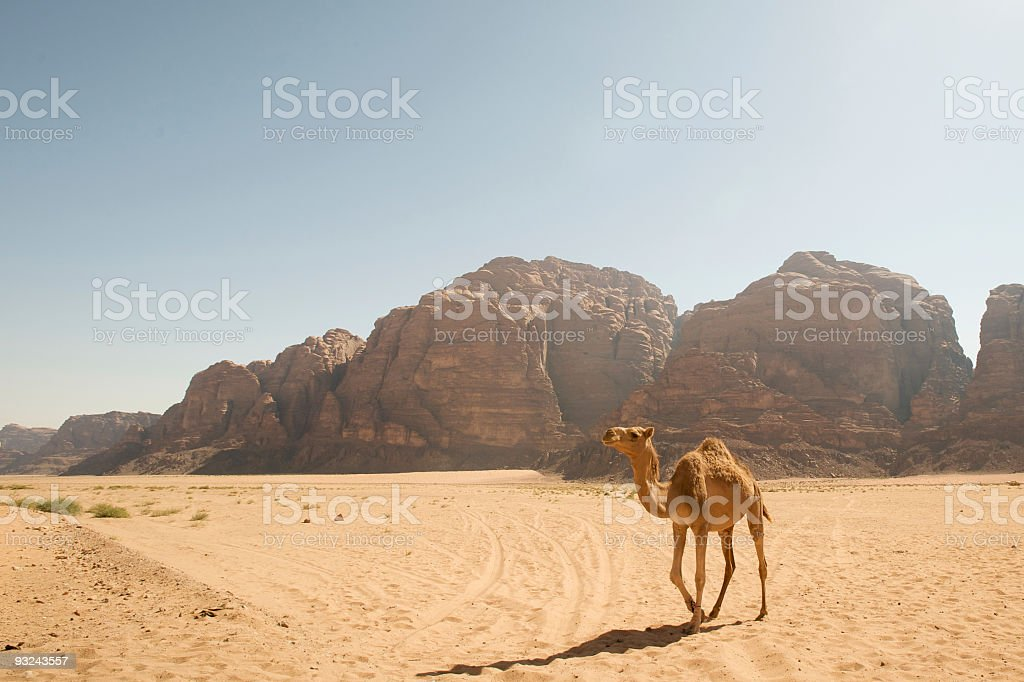 Lone Camel Trekking in Wadi Rum Desert, Jordan stock photo