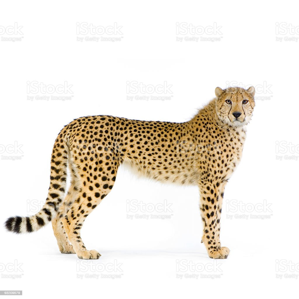 Lone cheetah standing up on white background stock photo