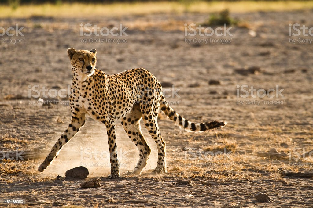 Lone cheetah walking in the savanna looking for pray stock photo