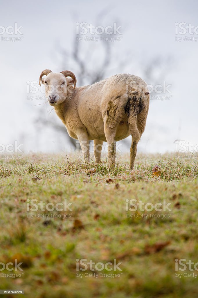 Lone Cotswold sheep looking at camera stock photo