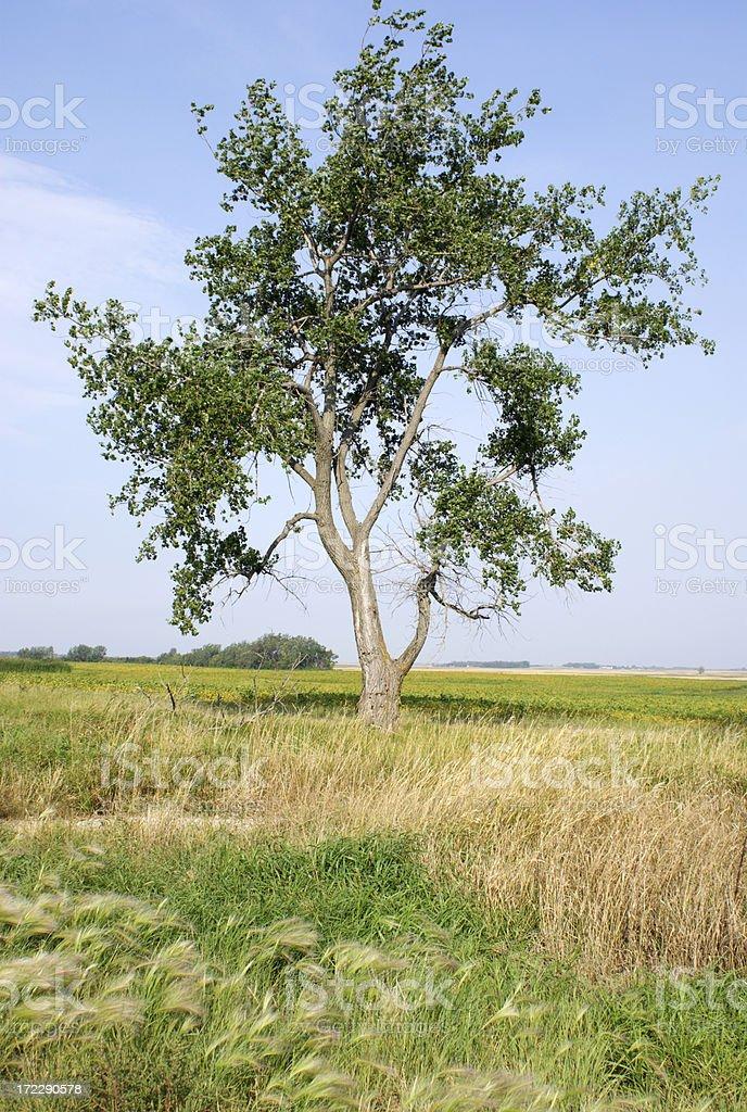 lone cottonwood tree stock photo