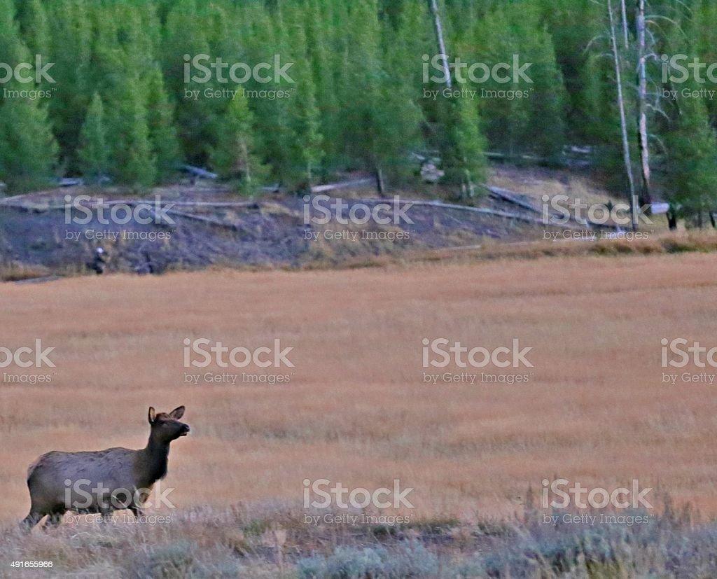 Lone Cow Elk stock photo