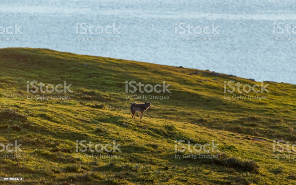 Lone Coyote stock photo