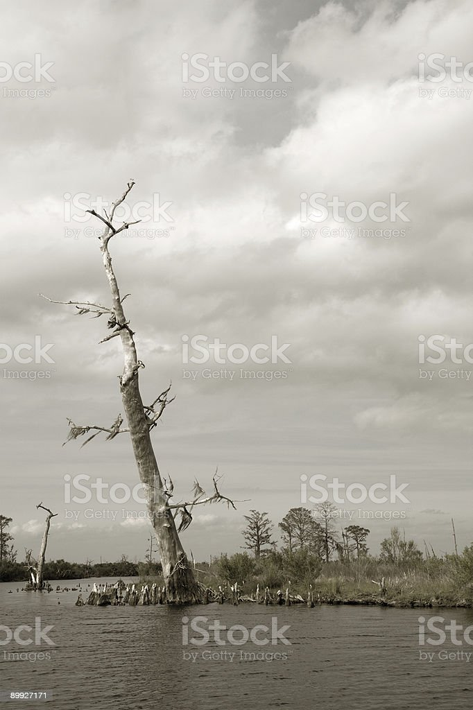 Lone Cypress royalty-free stock photo