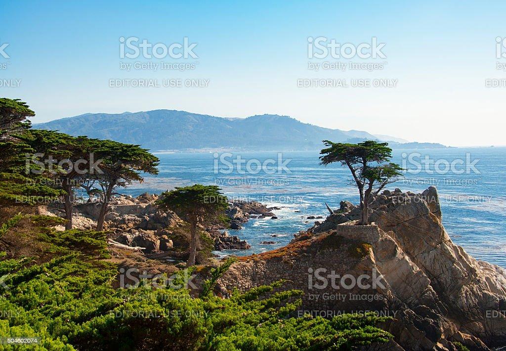 Lone Cypress Tree stock photo