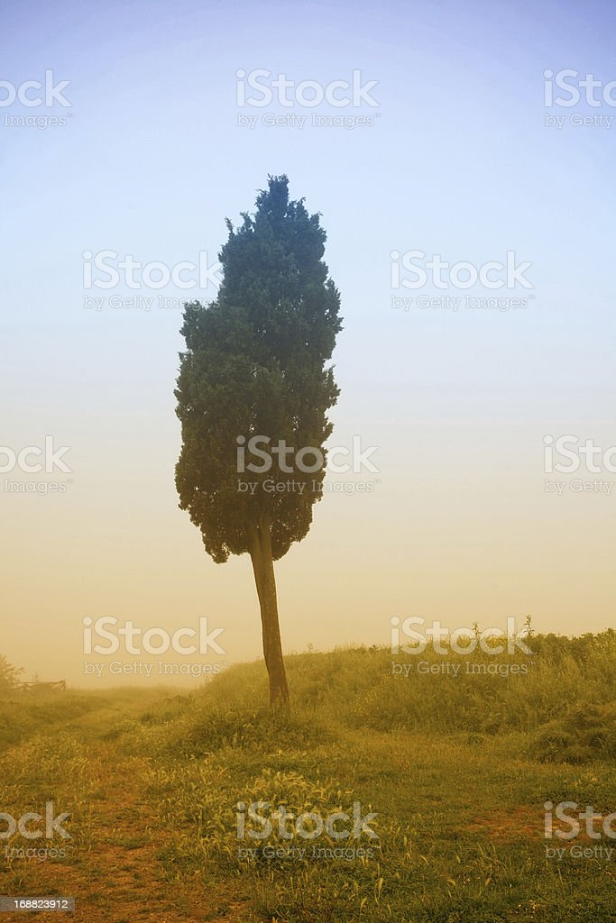 lone cypress tree with fog royalty-free stock photo