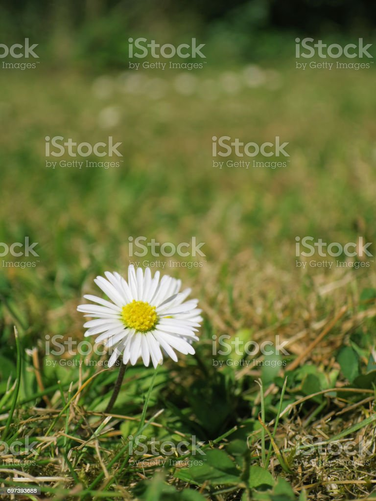 Lone daisy growing in a lawn in an English garden during Summer. stock photo