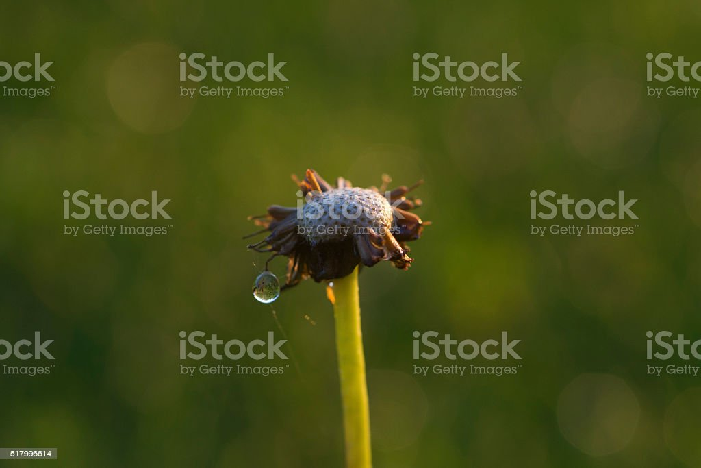 lone dandelion with dew drop stock photo