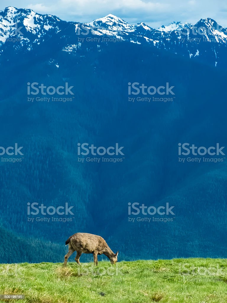 Lone deer eating grass near snow-capped mountain peaks stock photo