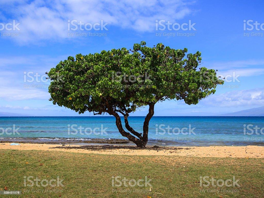 lone Divi-divi tree stock photo