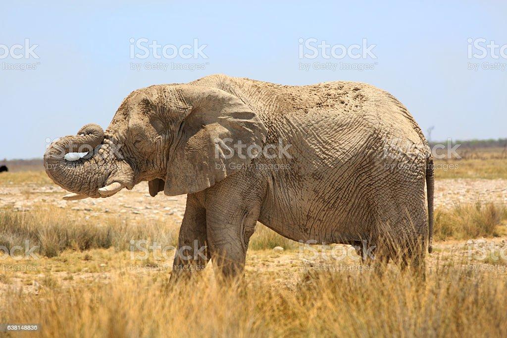 Lone Elephant with trunk elevated in Etosha stock photo