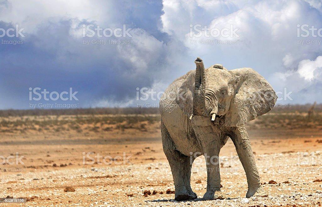 Lone elephant with trunk up on Etosha plains stock photo