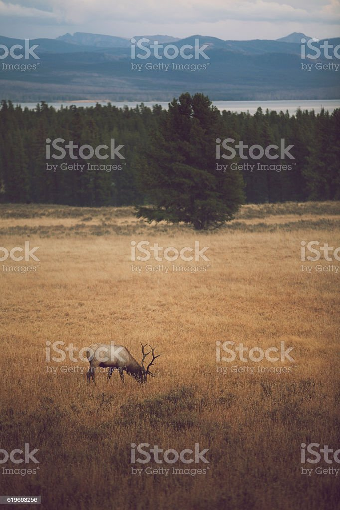 Lone Elk at Dusk stock photo