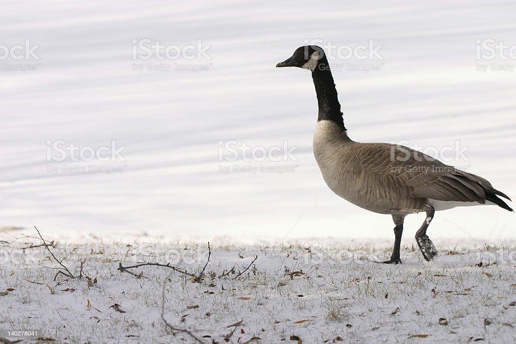 lone goose royalty-free stock photo